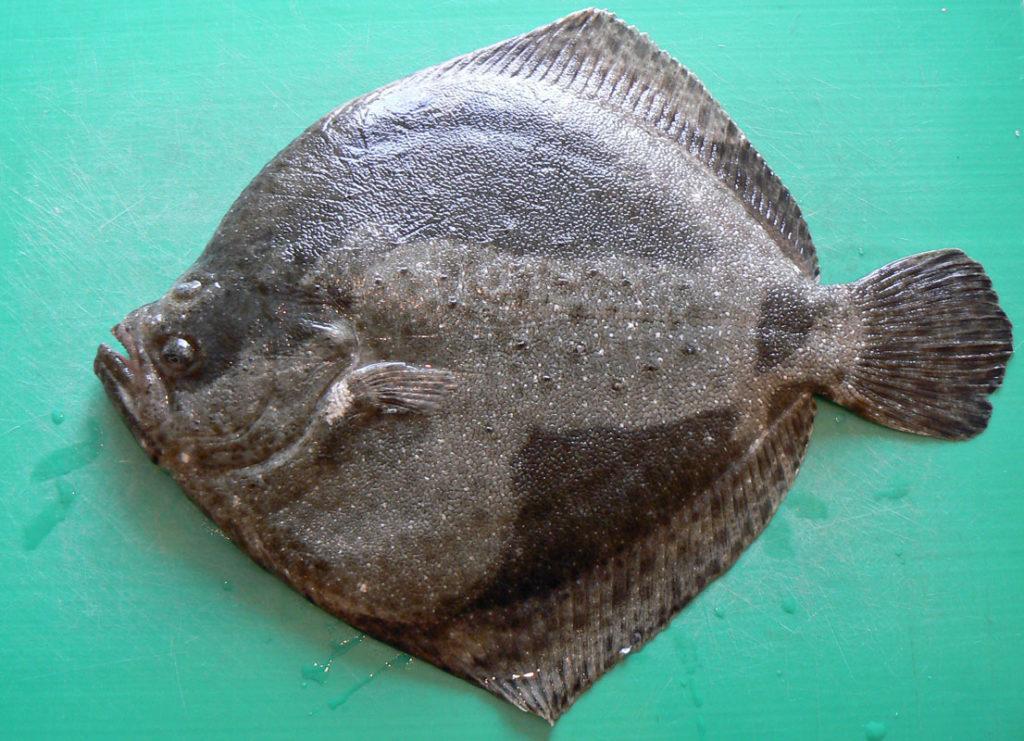 рыба тюрбо